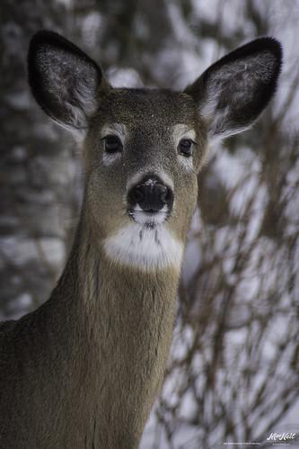 wild eyes doe deer