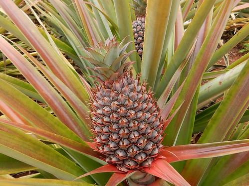 Laguna Azul - ananas