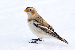 Snow Bunting, Indianapolis Regional Airport, 1-13-16 | by Ryan J Sanderson