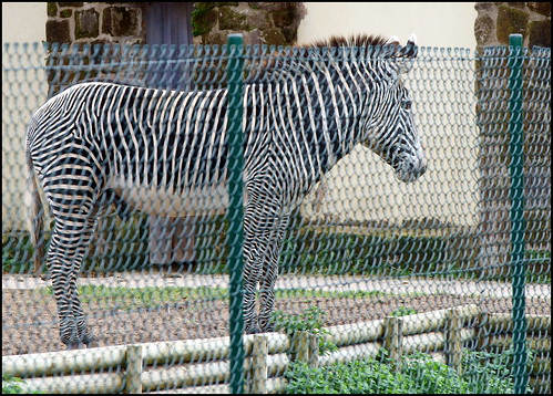 fence zebra chesterzoo fencedfriday colink321 sonyfe470200goss sonya7rm2 ©colinkirkwood2016