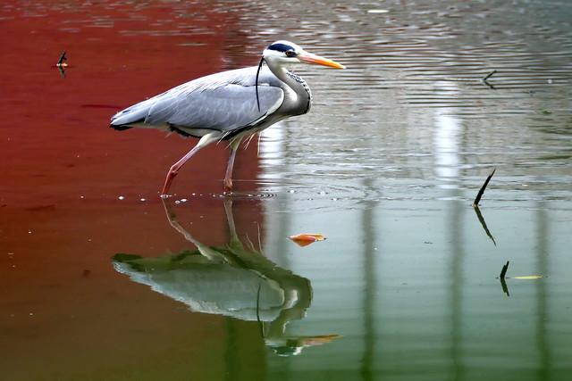 L1020266 Grey Heron