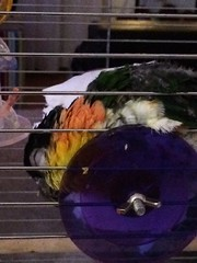 Guusje a sleep. Our parrot loves to sleep like this; soft toilet paper