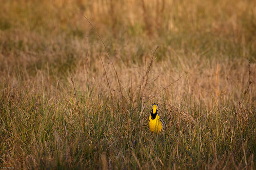 winter bird nature animal us unitedstates charlotte wildlife northcarolina easternmeadowlark mecklenburgcounty clarkscreeknaturepreserve
