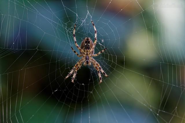 Spider Disco - Araignée Épeire