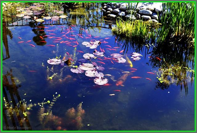 Le bassin des poissons du square