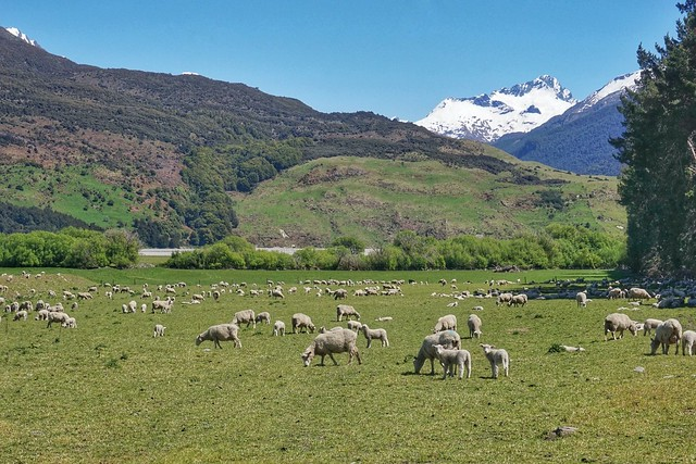 The spring pastures of New Zealand
