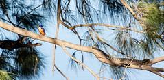 Azure Kingfisher & Eastern Water Dragon