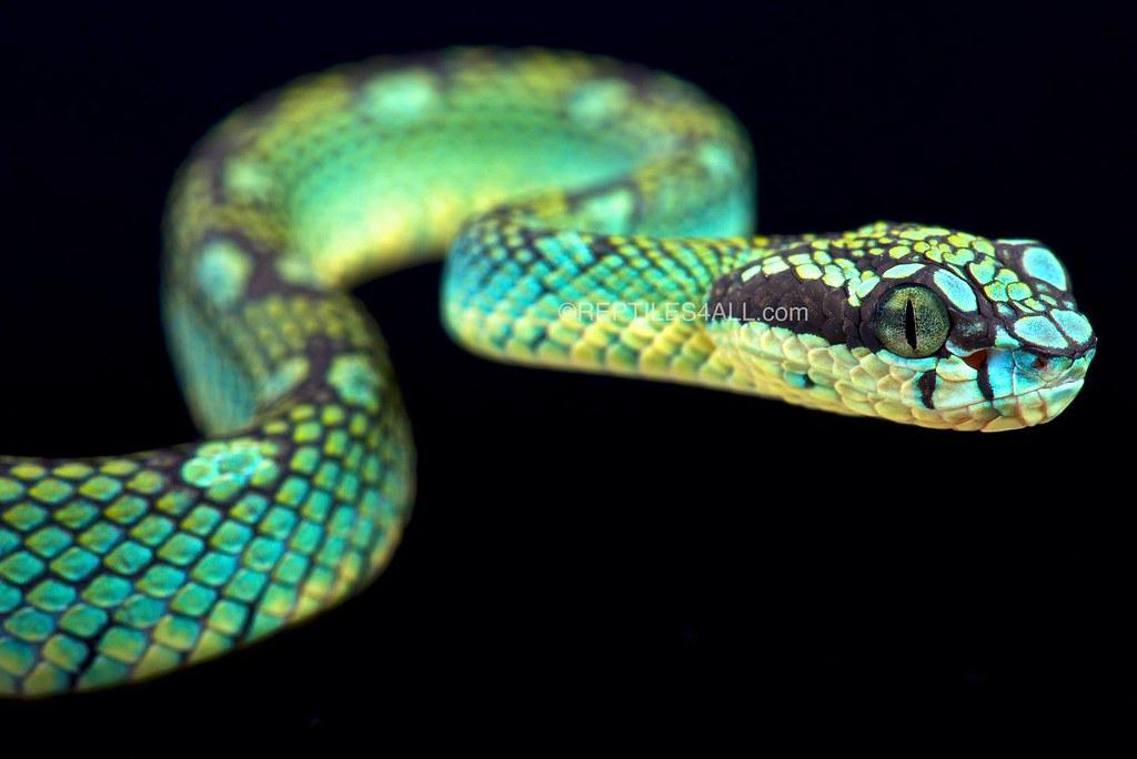 Sri Lankan Pit Viper Trimeresurus Trigonecephalus Flickr