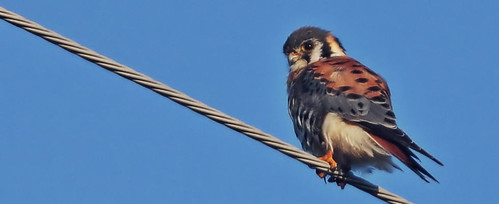 American Kestrel, male 980x400 20151113
