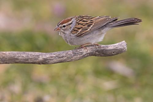 bird ave spizellapasserina chippingsparrow gorrióncejablanca gorrióncejiblanco nature wildlife fauna naturaleza gorrióncejasblancas