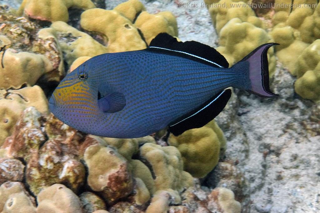 black triggerfish: Melichthys niger