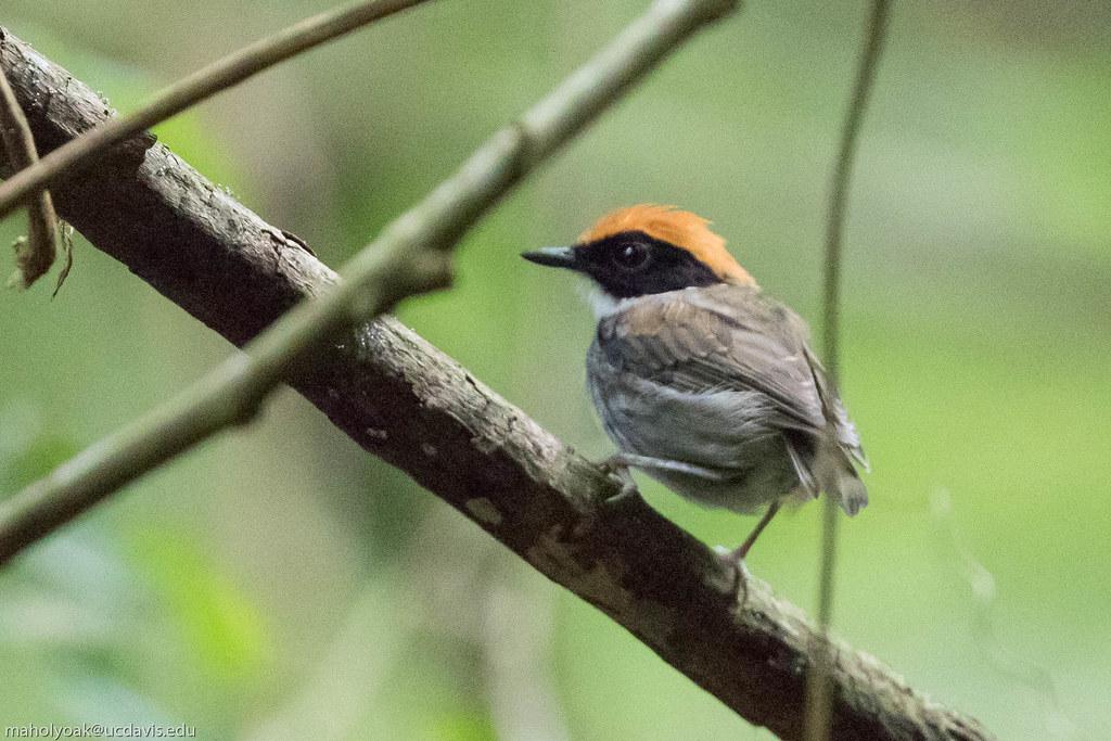 Black-cheeked Gnateater (Conopophaga melanops), Reserva Mata do Passerinhos, Bahia, BR, 20160124-101.jpg