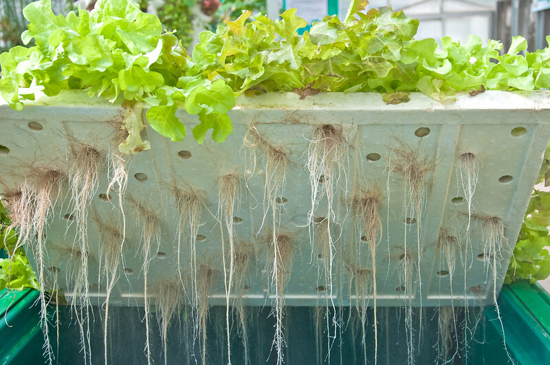 Root Of Hydroponic Vegetables