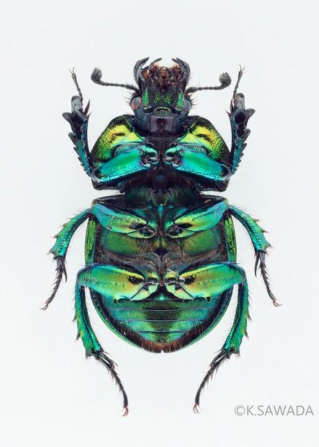 オオセンチコガネ名義タイプ亜種 Phelotrupes(Chromogeotrupes) auratus auratus (Motschulsky,1857) 富山県産-3腹面