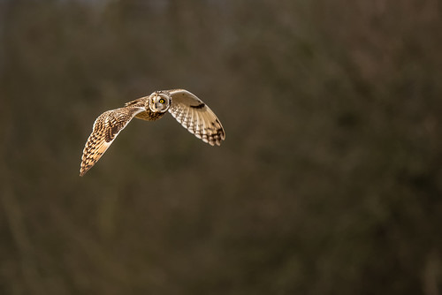 Short Eared Owl | by www.craigrogers.photography