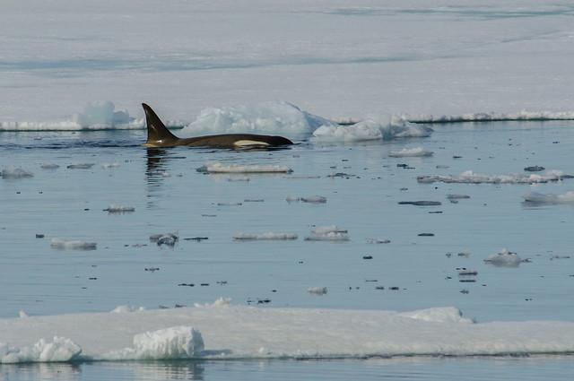 Orca on an ice edge