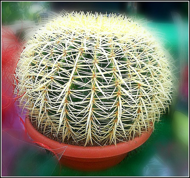 Golden Barrel Cactus ..