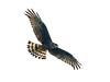 Long-winged Harrier (Circus buffoni) by Rodrigo Conte