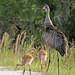 Flickr photo 'Sandhill Cranes (Grus canadensis)' by: Mary Keim.