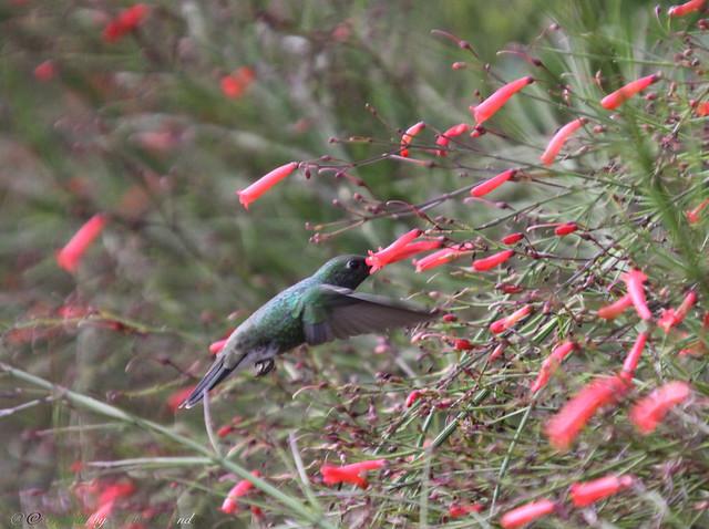 Beija-flor do Papo Verde ou Beija-flor-de-garganta-verde (Amazilia fimbriata) - glittering-throsted - 11-12-2015 - IMG_4955