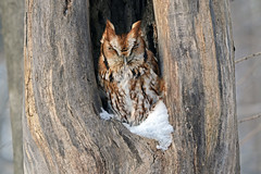 Eastern Screech-Owl, Lower Mudlic Rd. Armstrong County 1-13-16