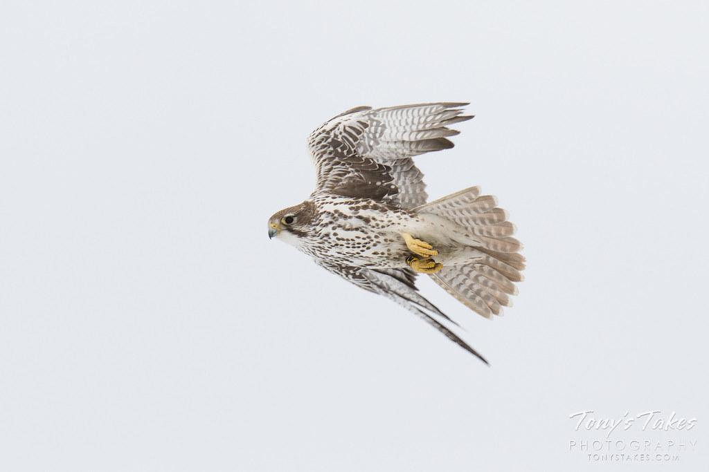 Prairie Falcon in flight keeping an eye on the camera