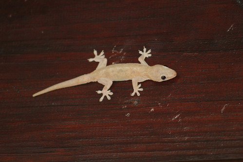 Gecko sp | by jack4rogers