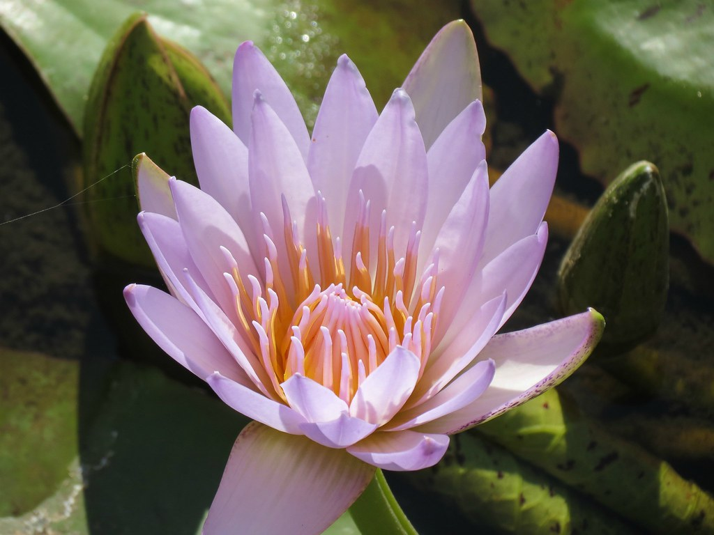 Waterlilies Waterlilies of the Nymphaea capensis sp with t