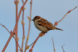 House Sparrow (Passer domesticus) male | by R-Gasman