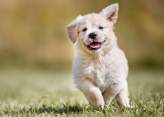 Playful golden retriever puppy | by johnvoo_photographer