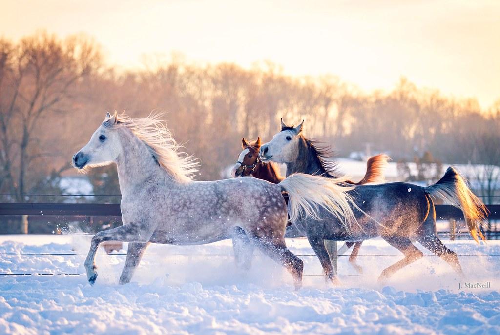 Moment Of Equine Exuberance In Snow >> Snow Horses Roze Arabians Jennifer Macneill Flickr