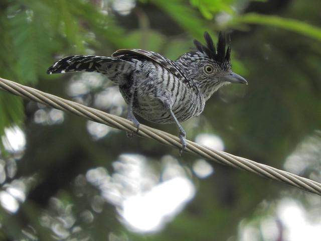 Choca-barrada macho (Thamnophilus doliatus)