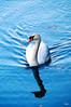 Mute Swan by Junko Hirata