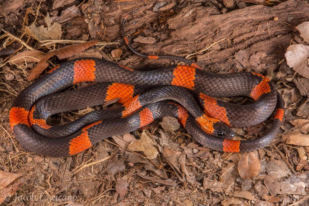 Banded Calico Snake (Oxyrhopus petola)