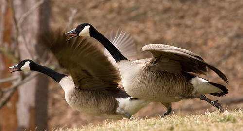 Photo of two Canada geese taking off
