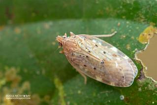 Planthopper nymph (Achilidae) - DSC_8121