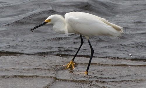 Snowy Egret | by vladeb
