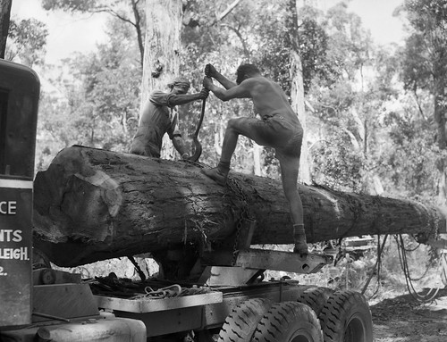 Harvesting hardwood, tightening chain to secure log for road haulage.