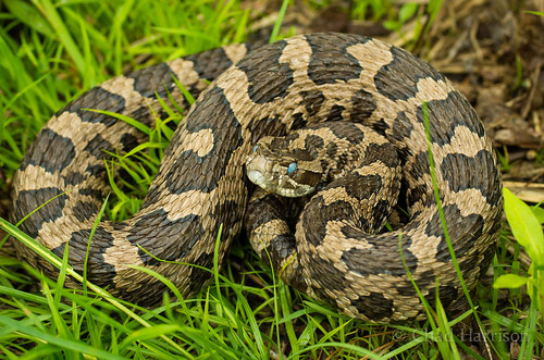 Eastern Massasauga Rattlesnake | by C. harrisoni