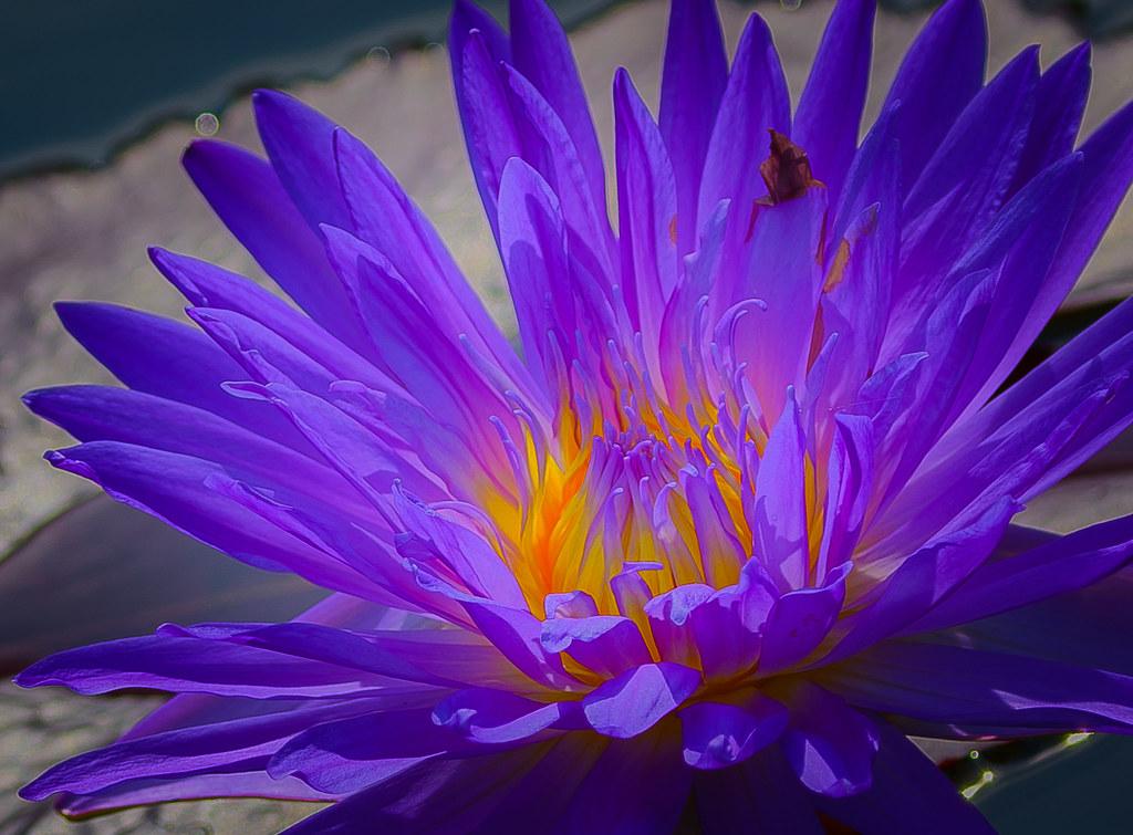 Lotus In Greek Mythology A Legendary Plant Whose Fruit I Flickr