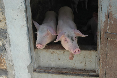 Confined pigs, pig farm, West Bank | by Animal People Forum