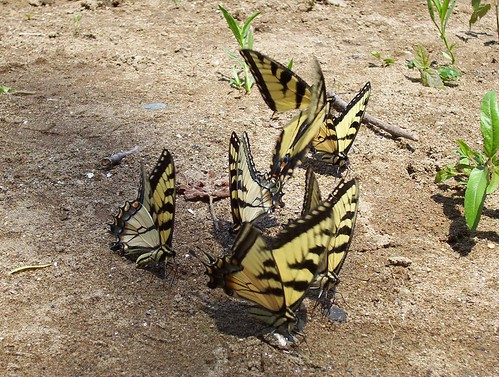 Tiger Swallowtail's Mating | by gawnesco