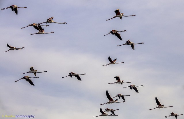 Flamencos (Phoenicopterus Linnaeus) on fly in a early winter morning