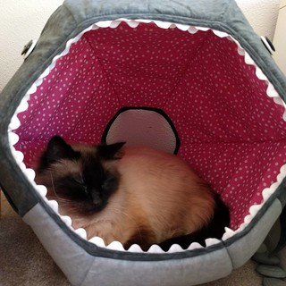 #kitty is finally sleeping in her #shark #catbed w/ #rickrack #sharkteeth & #buttoneyes. #BalineseCat #cat