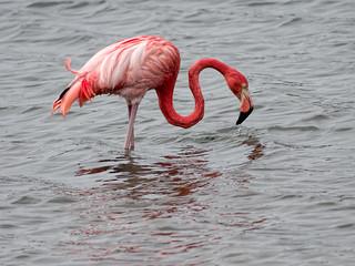 American Flamingo | by Ed Rosack
