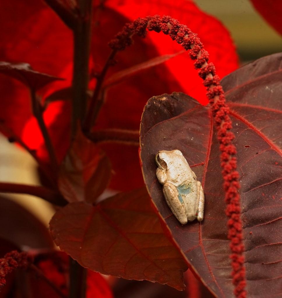 3S5X9340  Tree Frog