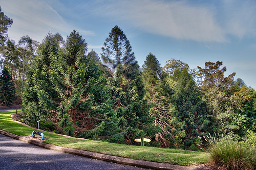 Walk along Bunya pines grove in Mt. Coot-tha