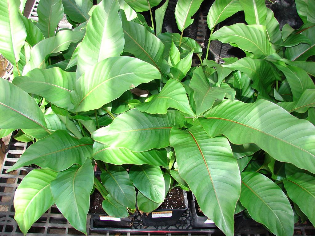 starr-070906-8369-Heliconia_stricta-Dwarf_Jamaican_habit-Kula_Ace_Hardware_and_Nursery-Maui