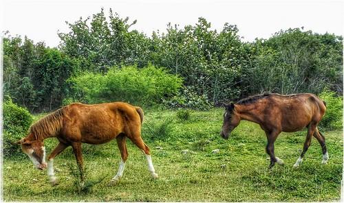 horses field animal landscape outdoor cuba grassland scrub holguin rafaelfreyre