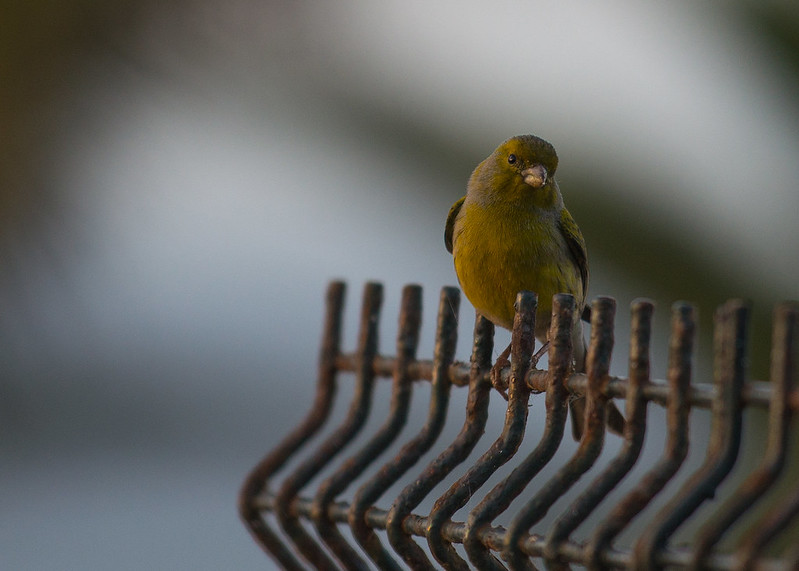Greenfinch on Tenerife